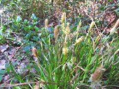 Carex halleriana (Càrex d'Haller)