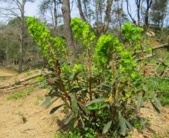 Euphorbia amygdaloides (Lleterasa de bosc)