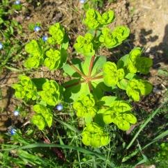 Euphorbia helioscopia (Lletera d'hort)
