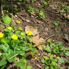 Ranunculus ficaria (Gatassa)