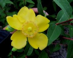 Hypericum calycinum Hidcote (Hipericó)