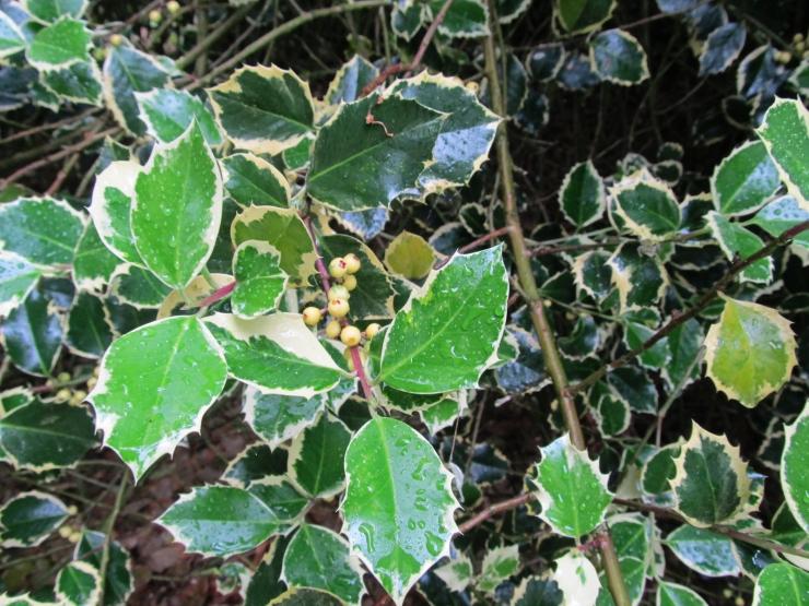 Ilex aquifolium aureomarginata