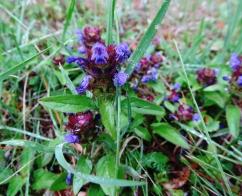 Prunella vulgaris (Herba del traïdor)
