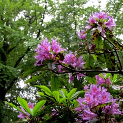Rhododendron ponticum (Rododendre pòntic)