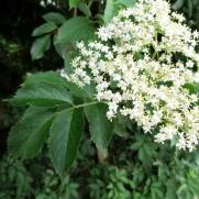 Sambucus nigra (Saüc)
