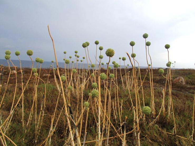Allium commutatum