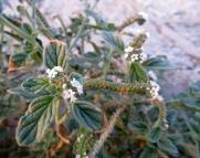 Heliotropium europaeum (Herba berruguera)