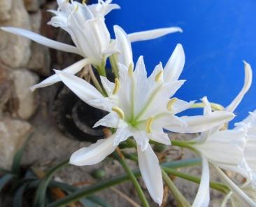 Pancratium maritimum (Lliri de mar)