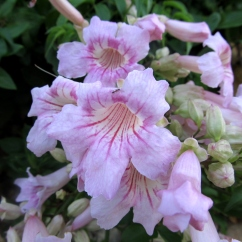 Podranea ricasoliana (Bignònia rosa)