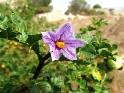 Solanum linnaeanum (Metzines de pometa)