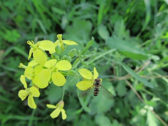 Brassica fruticuolsa