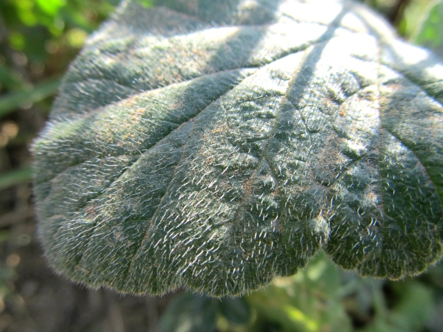 Erodium malacoides fulla