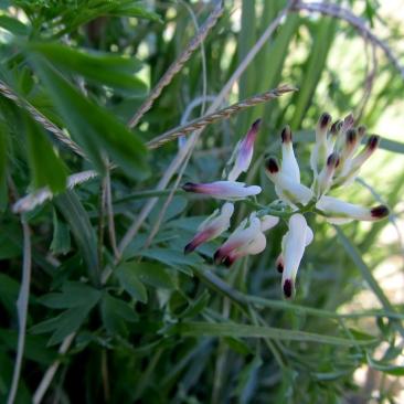 Fumaria capreolata ( Fumària enfiladissa)