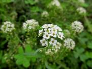Lobularia maritima (Caps blancs)