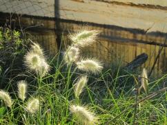 Pennisetum villosum (Cua de rata)
