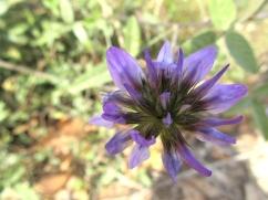 Psoralea bituminosa (Cabrulla)