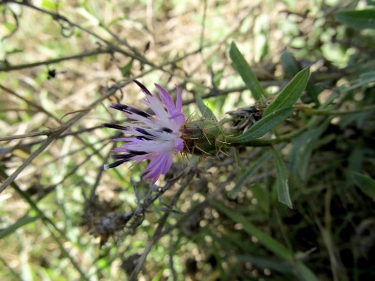 Centaurea aspera