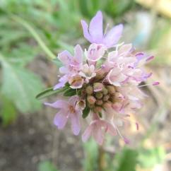 Scabiosa atropurpurea (Escabiosa)