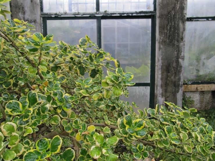 coprosma repens variegata