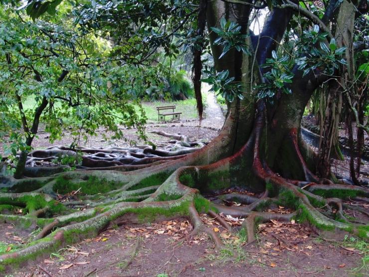 Ficus macrophylla general