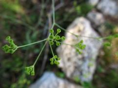 Bupleurum rigidum (Orella de llebre)