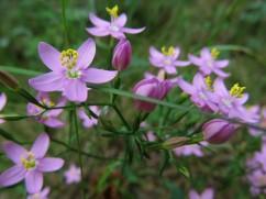 Centaurium erythraea (Centaura)