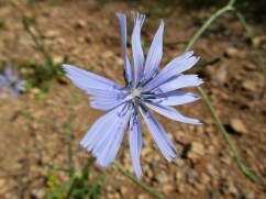 Cichorium intybus (Xicòria)