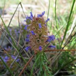 Coris monspeliensis (Farigola mascle)