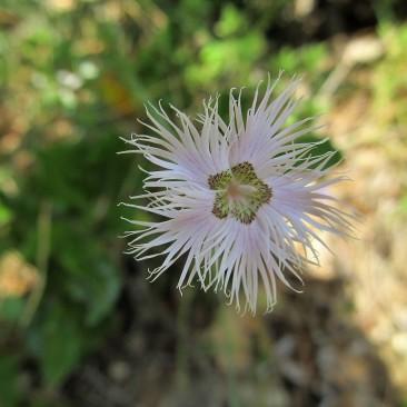 Dianthus hyssopifolius (Clavell de pastor)