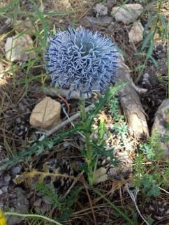 Echinops ritro (Panical blau 9