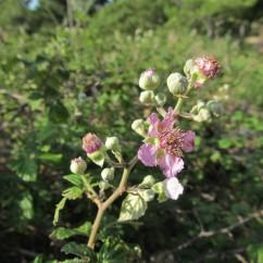 Rubus ulmifolius (Esbarzer)