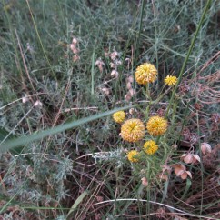 Santolina chamaecyparissus (Espernallac)
