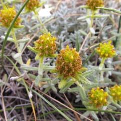 Teucrium polium aureum (Timó groc)