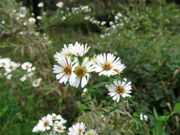 Aster pilosus (Setembrines)